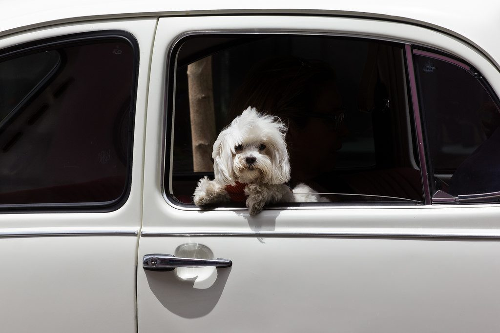 車のウインドーと犬